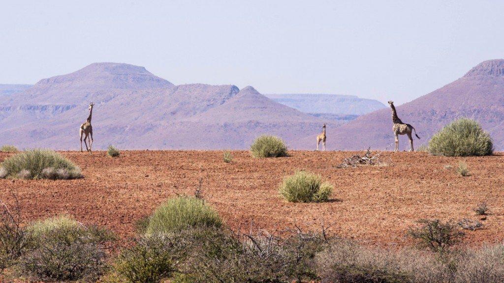 Namibia Grootberg Region Giraffen Iwanowskis Reisen - afrika.de