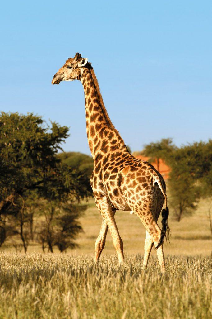 Namibia Mariental Intu Africa Game Reserve Giraffe Iwanowskis Reisen - afrika.de