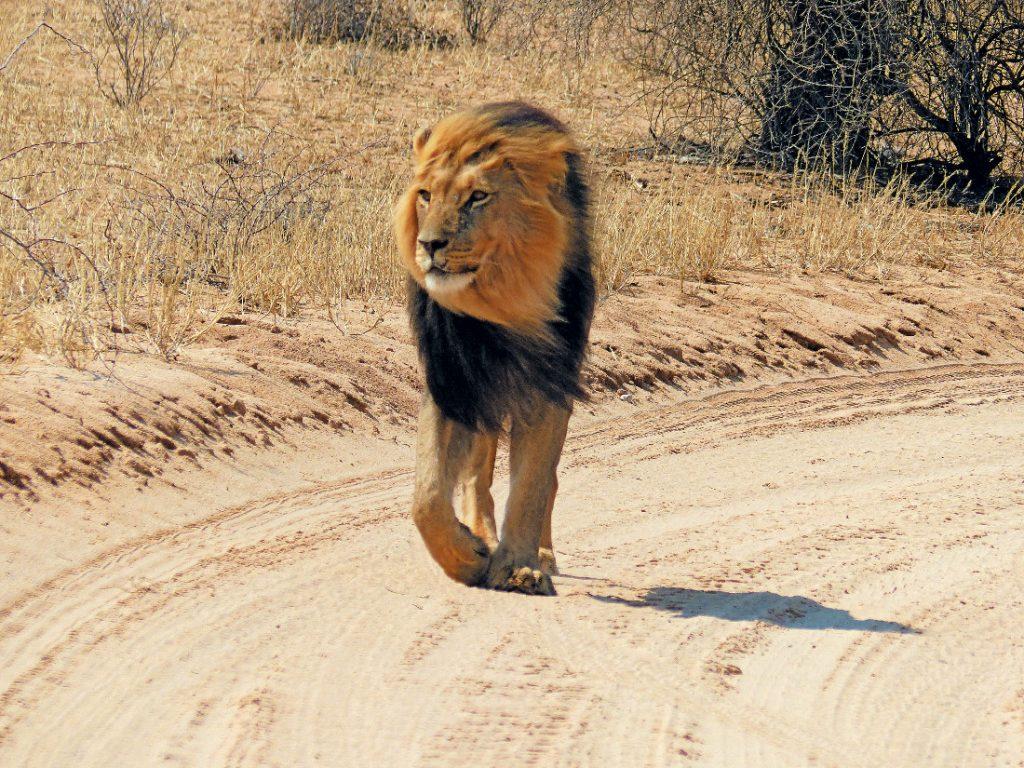 Namibia Kalahari Löwe Iwanowskis Reisen - afrika.de