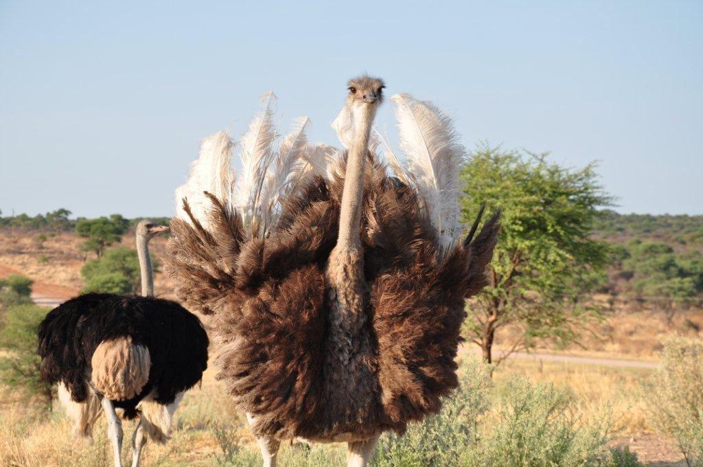 Namibia Kamrav Gästefarm Strausse Iwanowskis Reisen - afrika.de