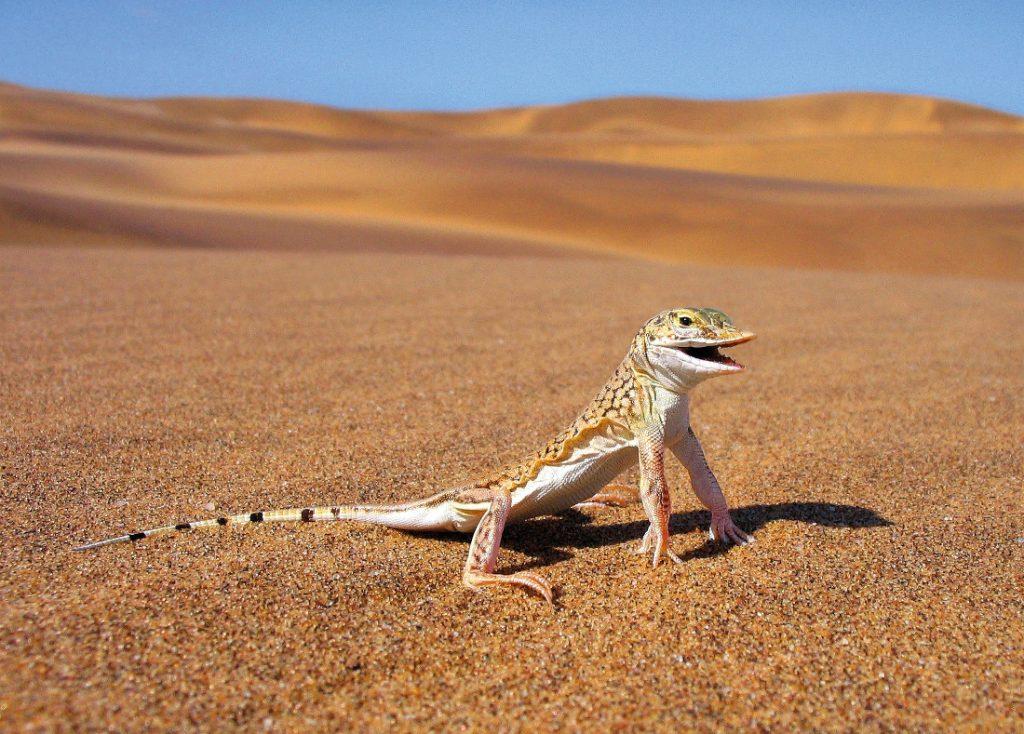 Namibia Swakopmund Living Desert Tour Wüstenechse Iwanowskis Reisen - afrika.de