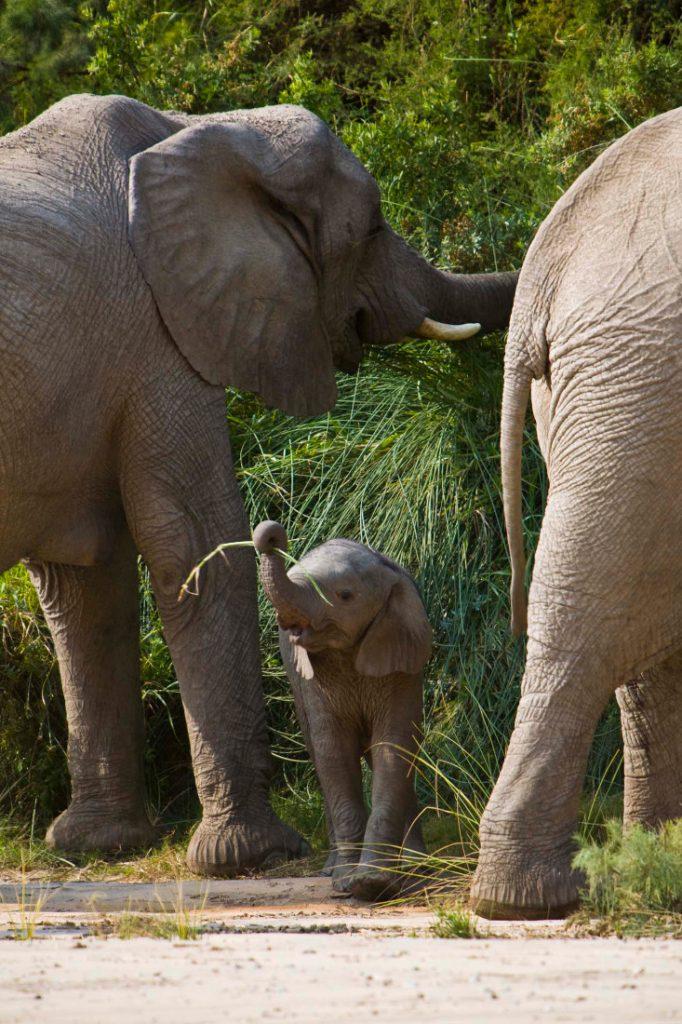 Namibia Kaokoland Okahirongo Elephant Lodge Elefanten Iwanowskis Reisen - afrika.de