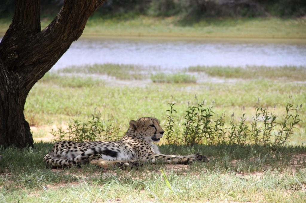 Namibia Otjiwarongo Okonjima Bush Camp Gepard Iwanowskis Reisen - afrika.de