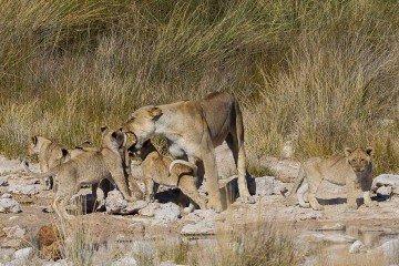Namibia_Loewenfamilie