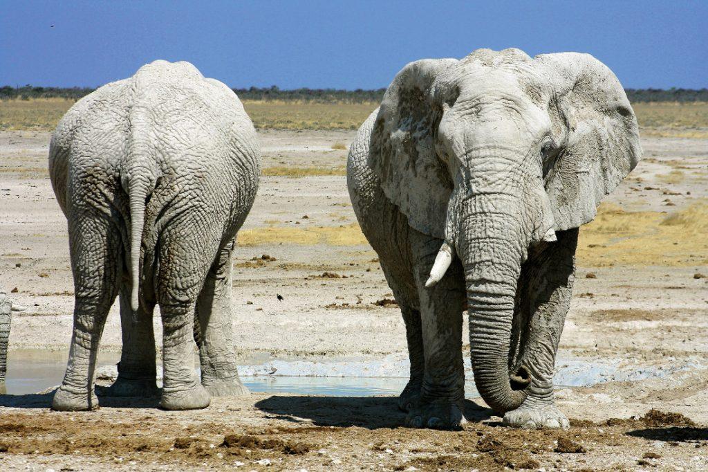 Namibia_Elefanten im Etosha Nationalpark
