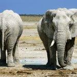 Namibia Etosha Nationalpark Elefanten Iwanowskis Reisen - afrika.de