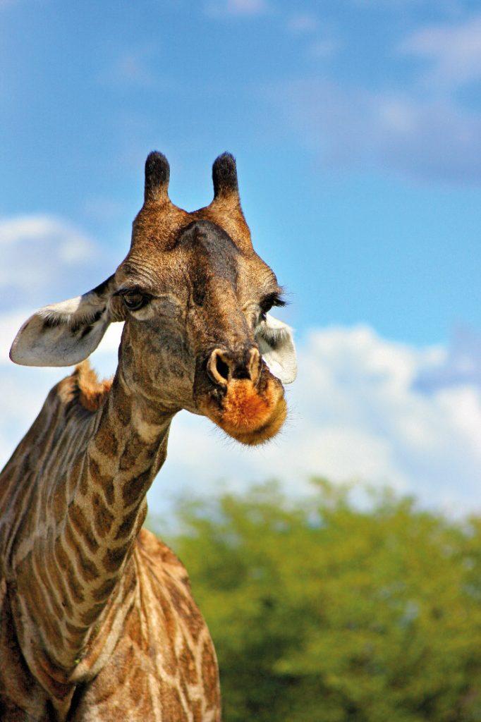 Namibia Etosha Nationalpark Giraffe Iwanowskis Reisen - afrika.de