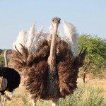 Namibia Kamrav Gästefarm Strauße Iwanowskis Reisen - afrika.de