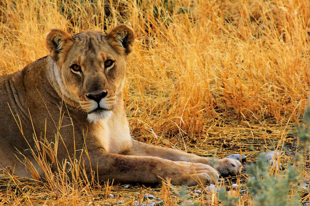 Namibia Campingsafari Etosha Nationalpark Löwin Iwanowskis Reisen - afrika.de