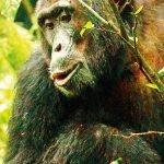 Ruanda Safari Gorilla Schimpanse Iwanowskis Reisen - afrika.de