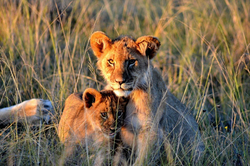 Südafrika Gondwana Game Reserve Löwen