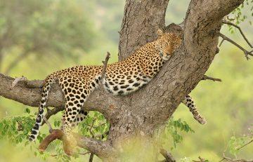 Südafrika Krüger Nationalpark Leopard Iwanowskis Reisen - afrika.de