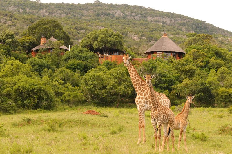 Südafrika Leshiba Wilderness Venda Village Lodge Giraffen