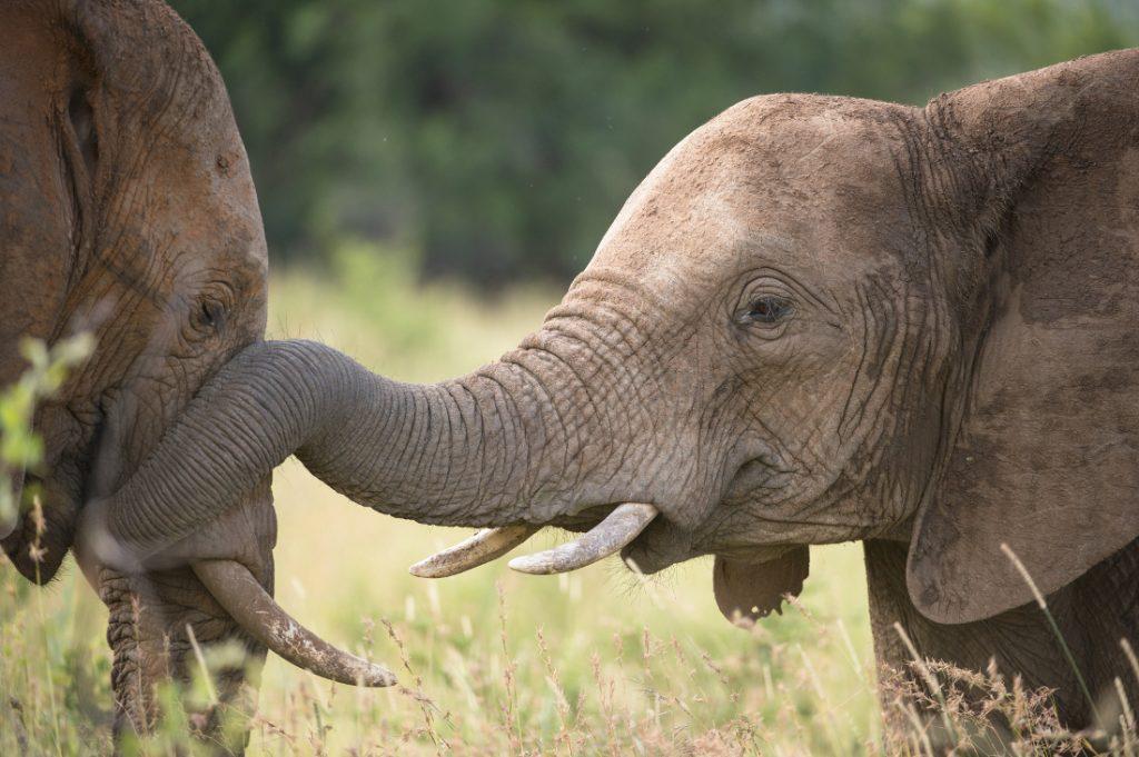 Südafrika Kruger National Park Elefanten Rundreise Iwanowskis Reisen - afrika.de