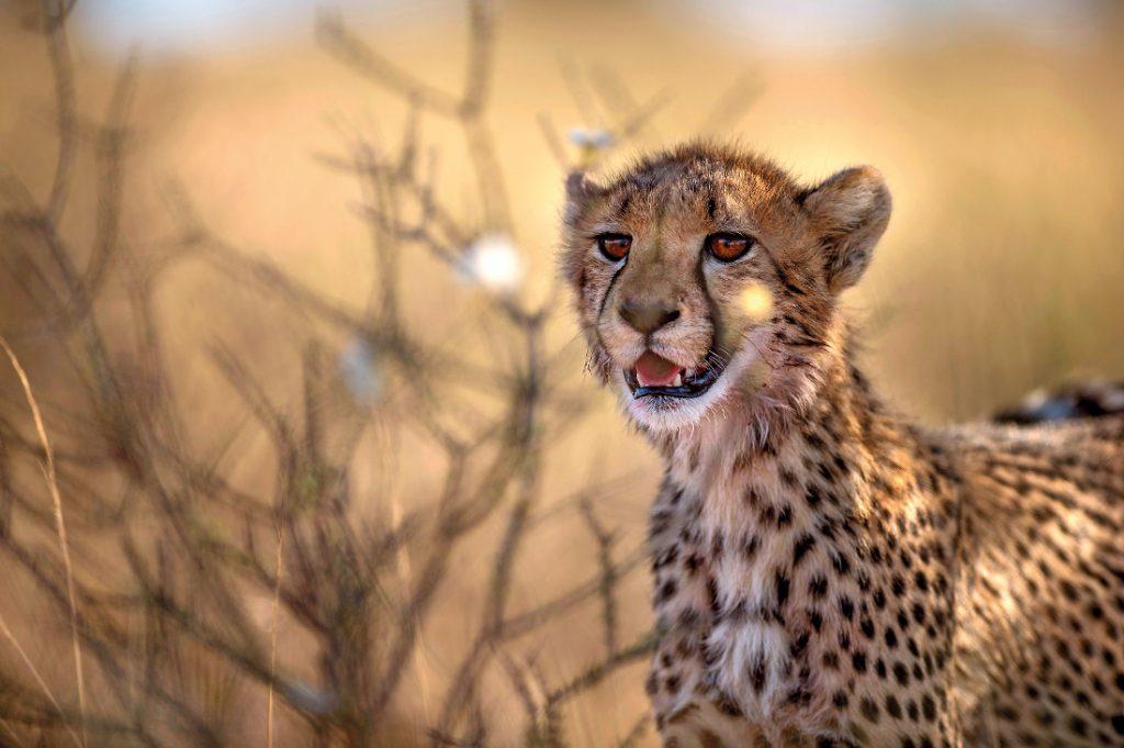 Südafrika Gepard Rundreise Iwanowskis Reisen - afrika.de