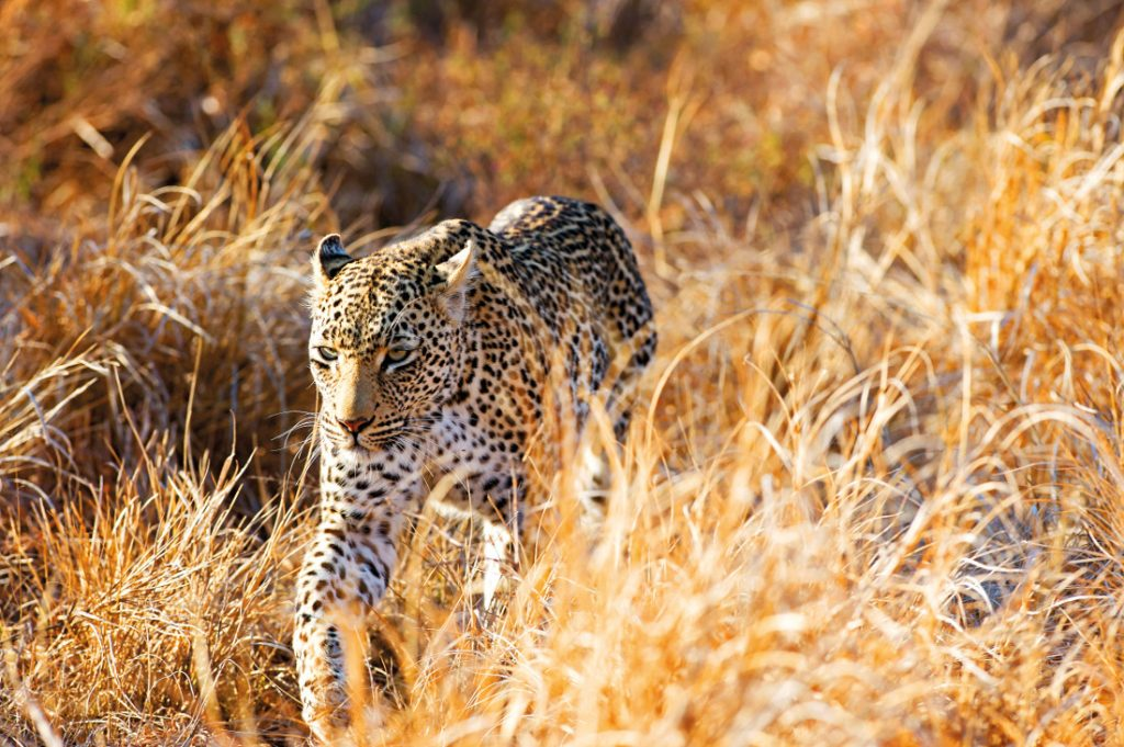 suedafrika-krueger-nationalpark-leopard