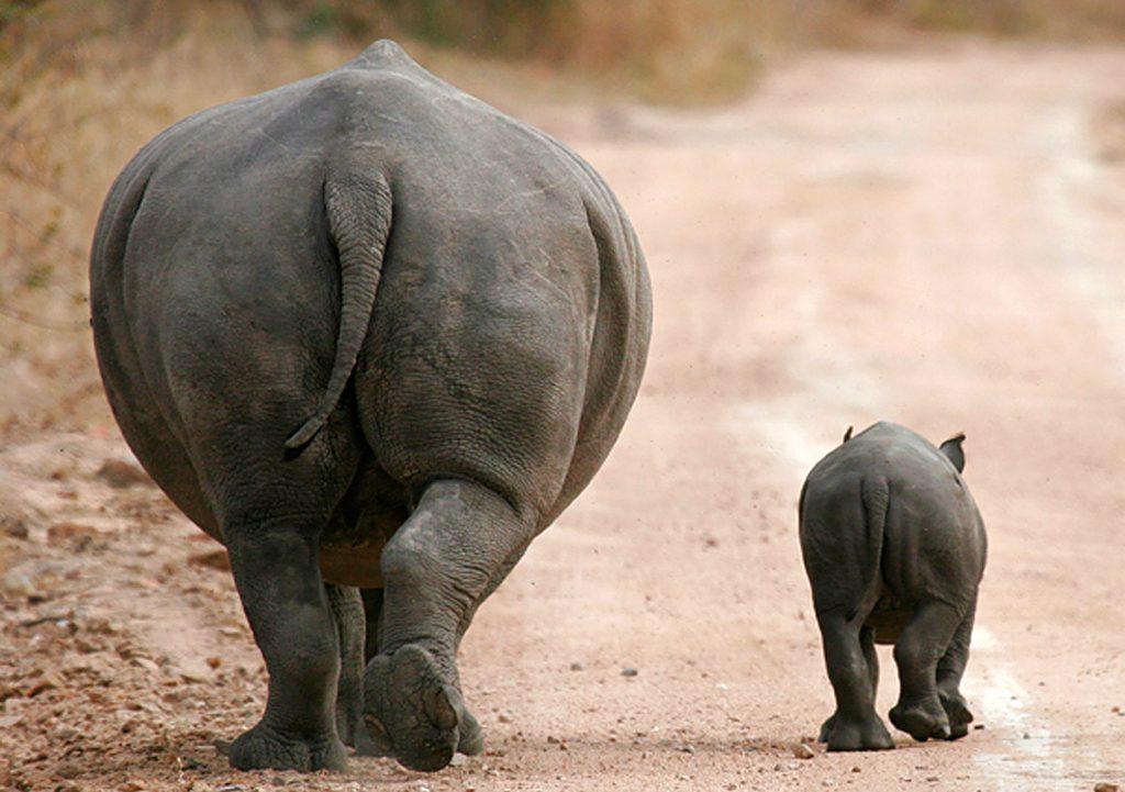 Südafrika Krüger Nationalpark Nashornmutter mit Kind Iwanowskis Reisen - afrika.de