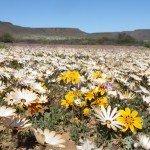 Südafrika Northern Cape Provinz Namaqualand Blütenmeer Iwanowskis Reisen - afrika.de