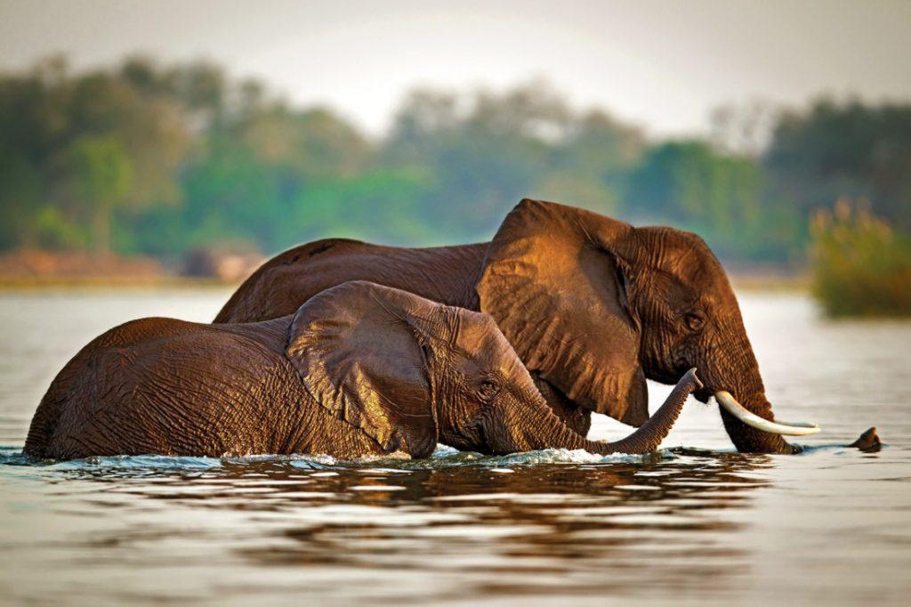 Sambia Lower Zambezi National Park Kasaka River Lodge Elefanten Iwanowskis Reisen - afrika.de
