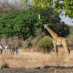 Sambia South Luangwa National Park Lion Camp Fußpirsch Iwanowskis Reisen - afrika.de