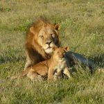 Sambia Luangwa National Park Löwen Iwanowskis Reisen - afrika.de