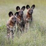 Sambia Kafue National Park Wilddogs Wildhunde Iwanowskis Reisen - afrika.de