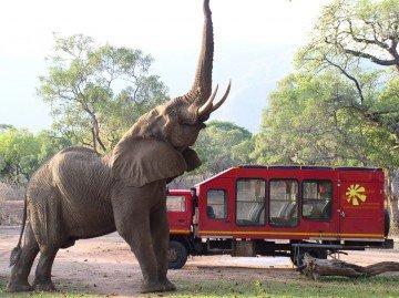 Sambia Lower Zambezi Elefant am Truck Iwanowskis Reisen - afrika.de