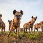Sambia: Liuwa Plains Safari