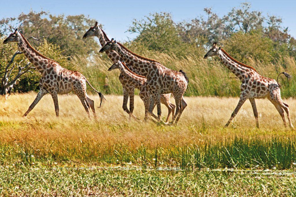 Simbabwe Hwange Nationalpark Camelthorn Lodge Giraffen Iwanowskis Reisen - afrika.de