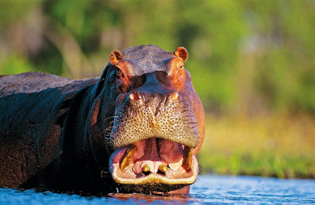 Simbabwe Lake Kariba Nilpferd Iwanowskis Reisen - afrika.de