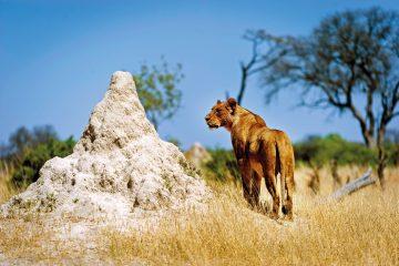 Simbabwe Hwange National Park Löwe Iwanowskis Reisen - afrika.de