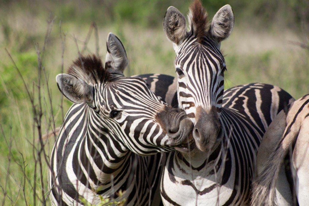 Suedafrika Rundreise Hluhluwe Wildreservat Zebras Iwanowskis Reisen - afrika.de