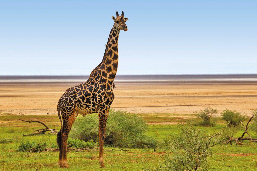 Tansania Lake Manyara National Park Giraffe Iwanowskis Reisen - afrika.de
