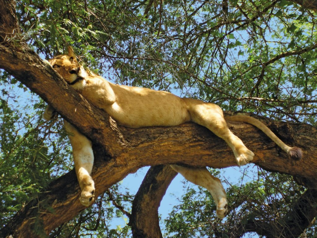 Tansania Lake Manyara National Park Löwe im Baum Iwanowskis Reisen - afrika.de