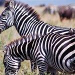 Tansania Serengeti National Park Zebras Iwanowskis Reisen - afrika.de