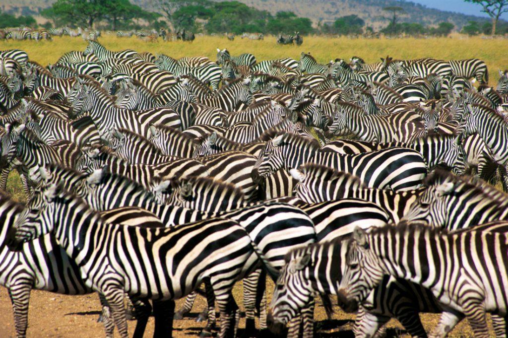 Tansania Serengeti Zebraherde Iwanowskis Reisen - afrika.de
