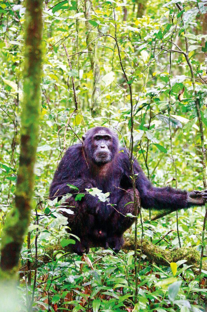 Uganda Bwindi Impenetrable Forest National Park Gorilla Tracking Iwanowskis Reisen - afrika.de