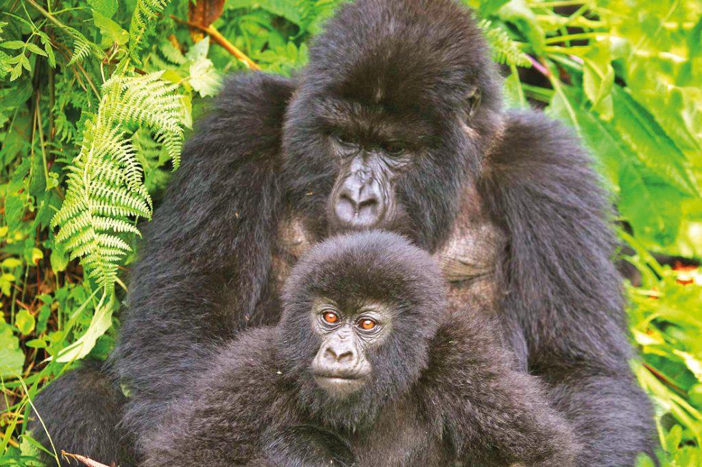 Uganda Gorillas Iwanowskis Reisen - afrika.de