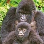 Uganda Gorilla Express