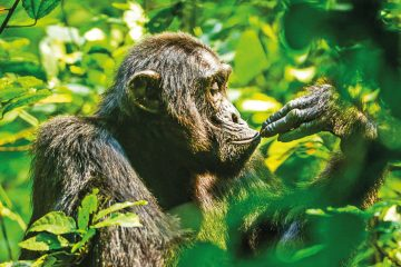 Uganda Kibale National Park Schimpanse Iwanowskis Reisen - afrika.de