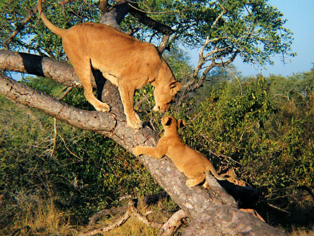 Uganda Safari Queen Elizabeth National Park Löwen Iwanowskis Reisen - afrika.de