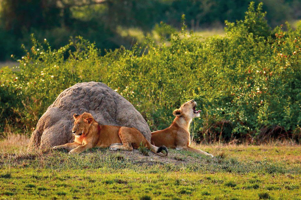 Uganda Löwenpaar Iwanowskis Reisen - afrika.de