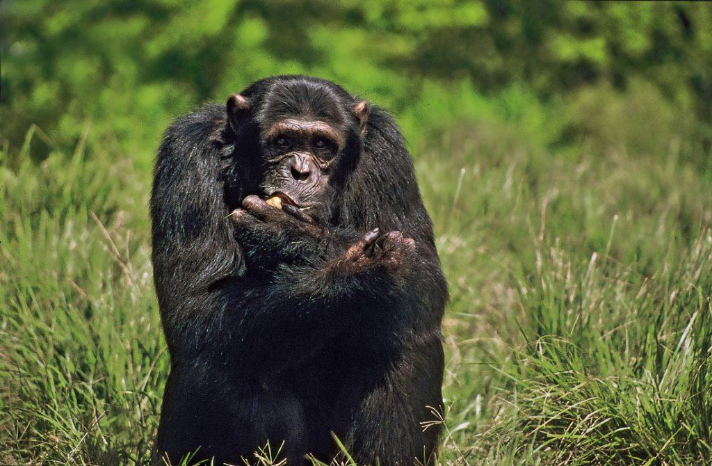 Uganda Safari Camping Schimpanse Tracking Iwanowskis Reisen - afrika.de