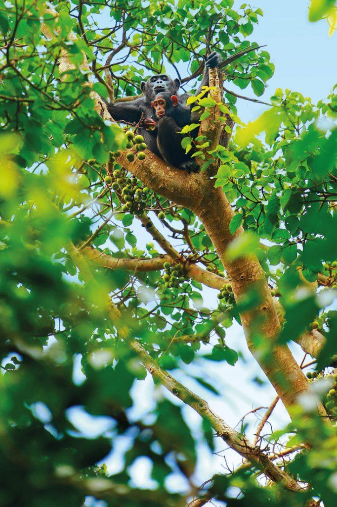 Uganda Kibale Forest National Park Schimpansen Tracking Iwanowskis Reisen - afrika.de