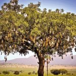 Uganda Kidepo National Park Leberwurstbaum Iwanowskis Reisen - afrika.de