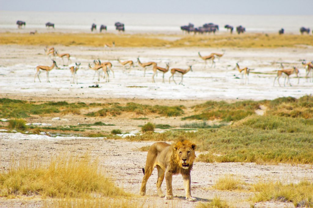 Namibia Etosha National Park Löwe Sunway Safari Iwanowskis Reisen - afrika.de