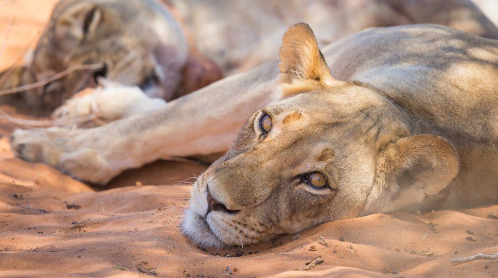 Namibia Kalahari Wüste Kalahari Game Lodge Löwin Iwanowskis Reisen - afrika.de