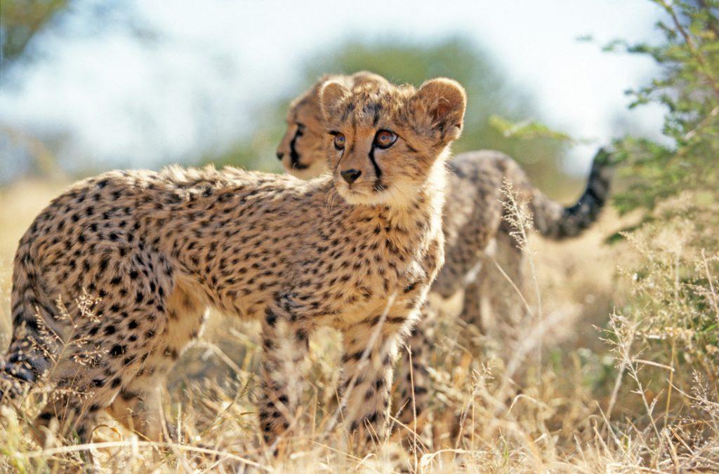 Namibia Otjiwarongo Okonjima Bush Camp Gepardenbabys Iwanowskis Reisen - afrika.de