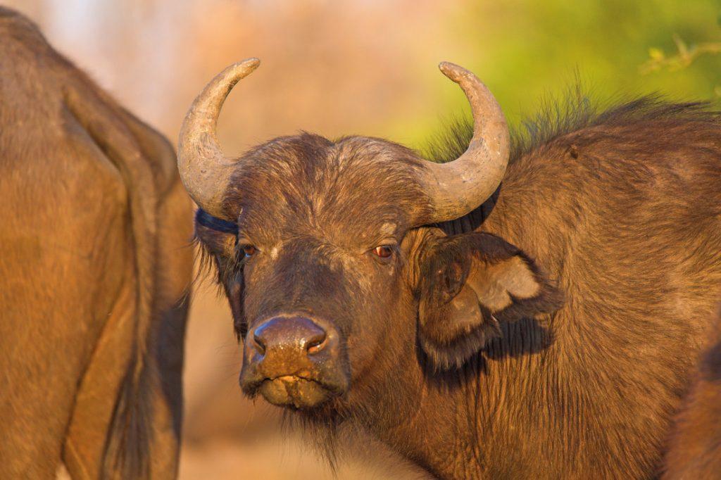 Botswana Safari Bushways Büffel Iwanowskis Reisen - afrika.de