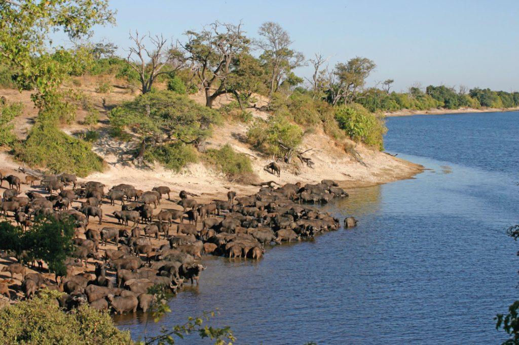 Botswana Safari Bushways Büffel am Chobe Iwanowskis Reisen - afrika.de